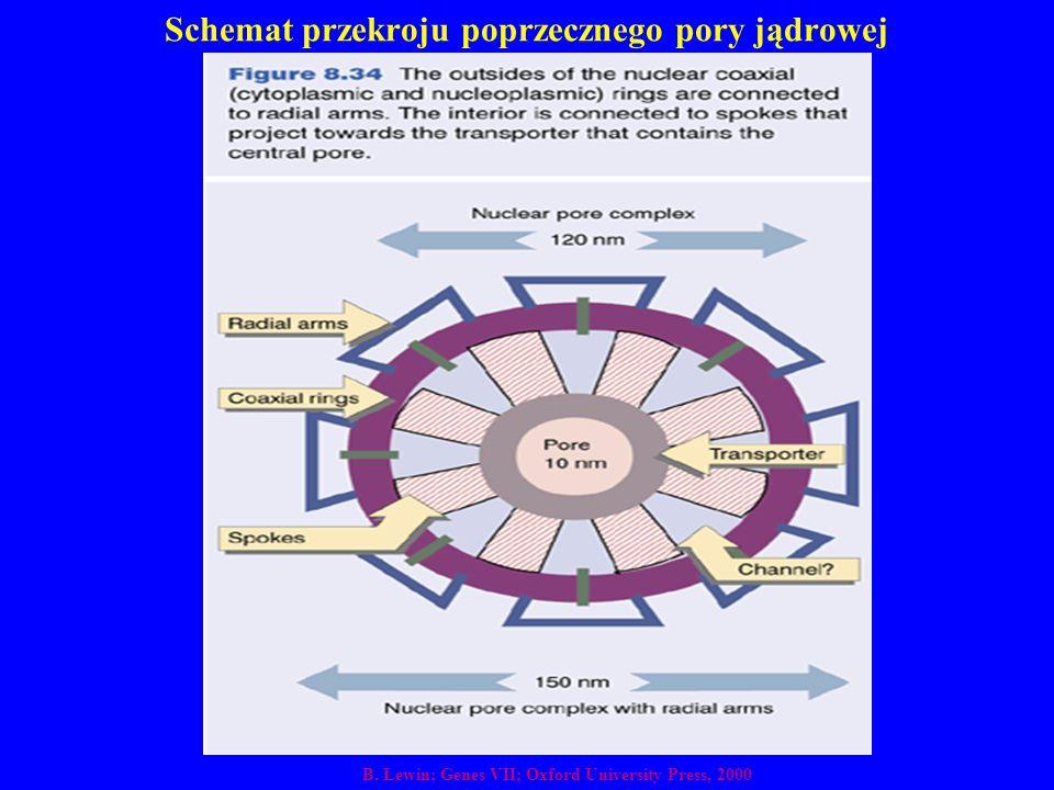 Schemat przekroju poprzecznego pory jądrowej B. Lewin; Genes VII; Oxford University Press, 2000
