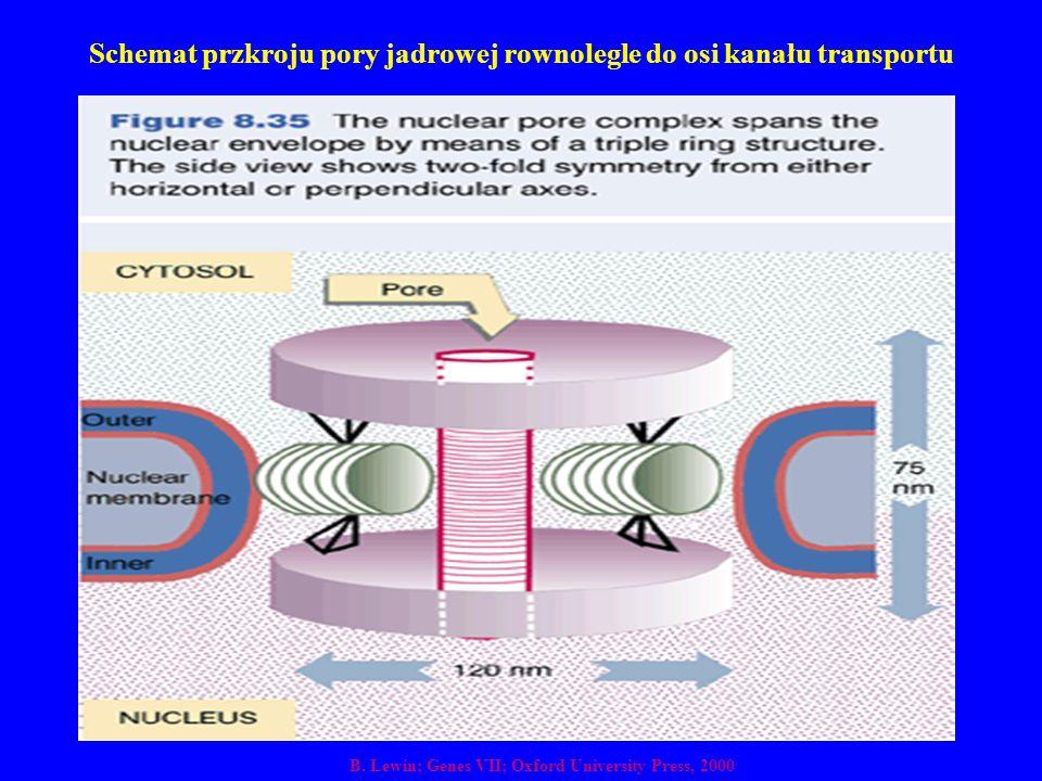 Schemat przkroju pory jadrowej rownolegle do osi kanału transportu B. Lewin; Genes VII; Oxford University Press, 2000