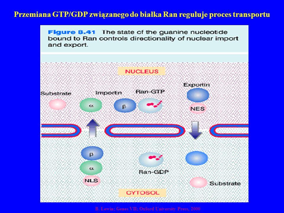 Przemiana GTP/GDP związanego do białka Ran reguluje proces transportu B. Lewin; Genes VII; Oxford University Press, 2000