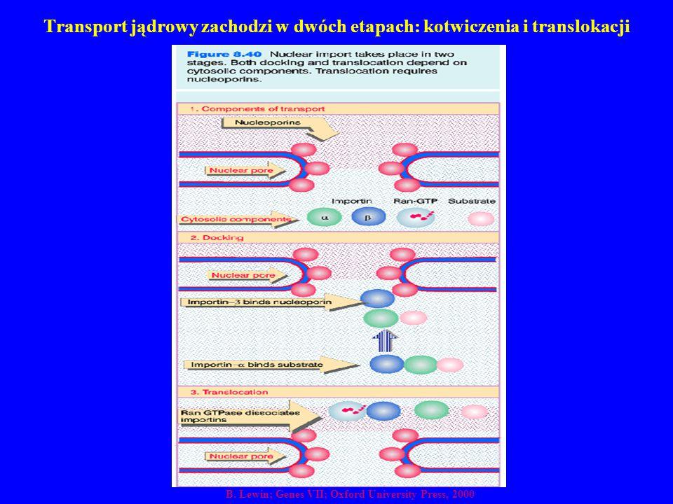 Transport jądrowy zachodzi w dwóch etapach: kotwiczenia i translokacji B. Lewin; Genes VII; Oxford University Press, 2000