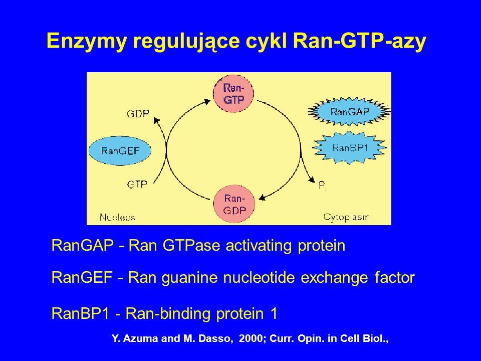 Enzymy regulujące cykl Ran-GTP-azy RanGAP - Ran GTPase activating protein RanBP1 - Ran-binding protein 1 RanGEF - Ran guanine nucleotide exchange fact
