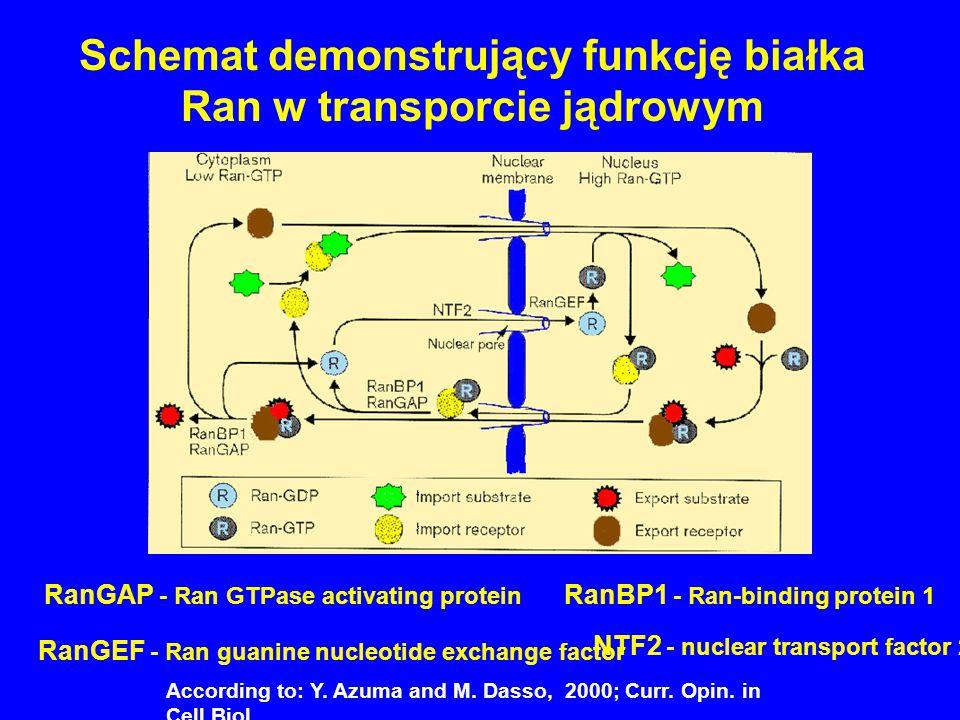 Schemat demonstrujący funkcję białka Ran w transporcie jądrowym According to: Y. Azuma and M. Dasso, 2000; Curr. Opin. in Cell Biol., RanGAP - Ran GTP