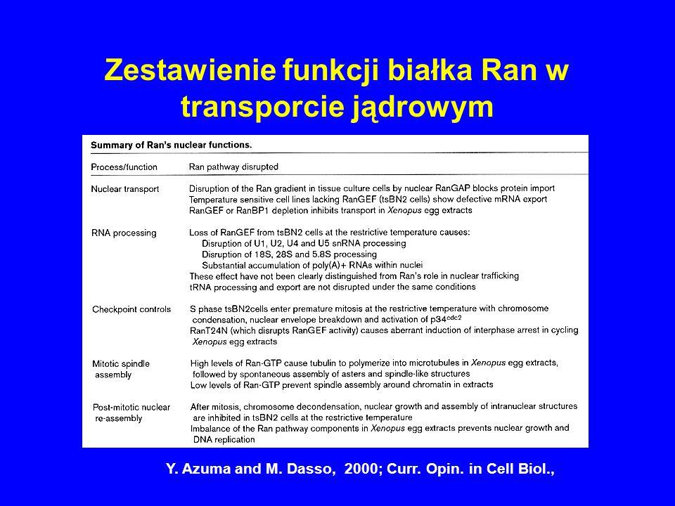 Zestawienie funkcji białka Ran w transporcie jądrowym Y. Azuma and M. Dasso, 2000; Curr. Opin. in Cell Biol.,
