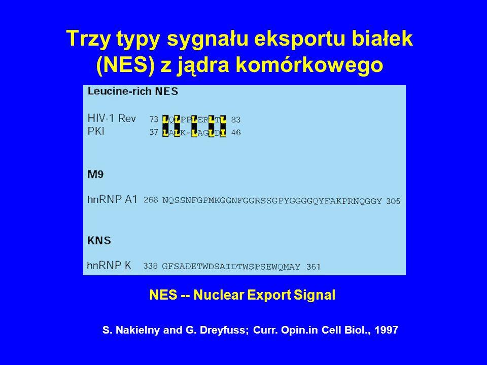Trzy typy sygnału eksportu białek (NES) z jądra komórkowego NES -- Nuclear Export Signal S. Nakielny and G. Dreyfuss; Curr. Opin.in Cell Biol., 1997