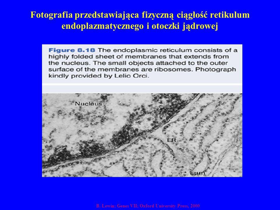 Fotografia przedstawiająca fizyczną ciągłość retikulum endoplazmatycznego i otoczki jądrowej B. Lewin; Genes VII; Oxford University Press, 2000