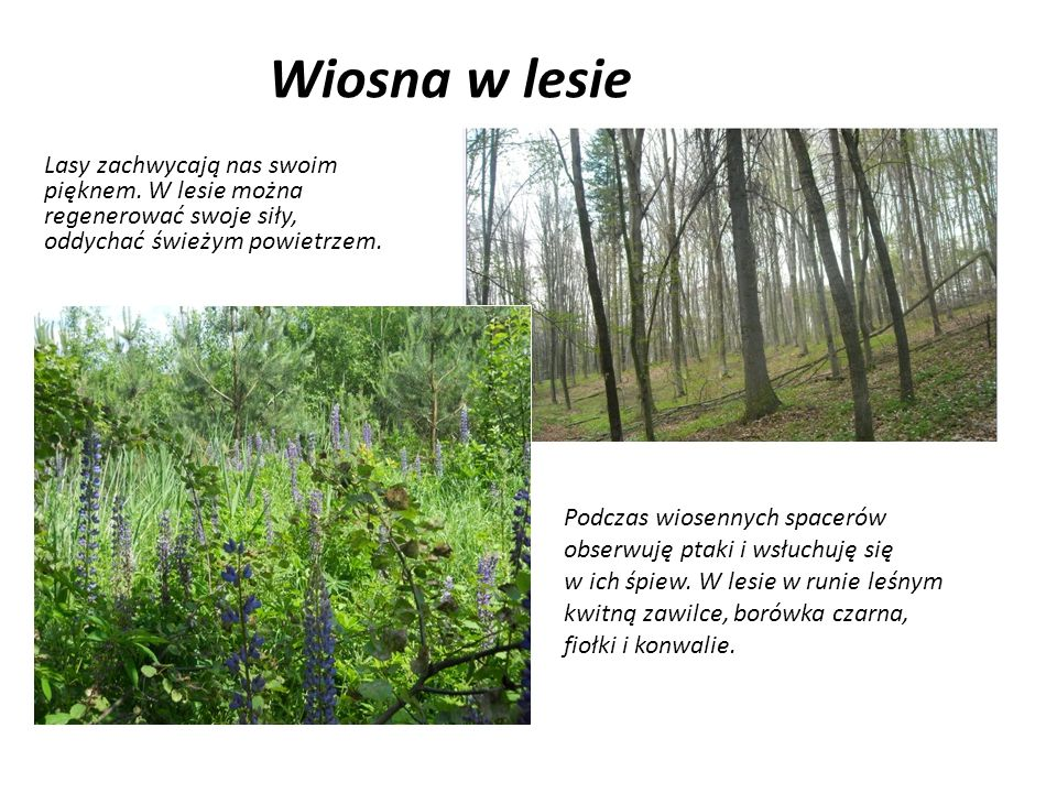 Wiosna w lesie Lasy zachwycają nas swoim pięknem. W lesie można regenerować swoje siły, oddychać świeżym powietrzem. Podczas wiosennych spacerów obser
