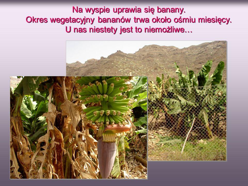 Na wyspie uprawia się banany. Okres wegetacyjny bananów trwa około ośmiu miesięcy. U nas niestety jest to niemożliwe…