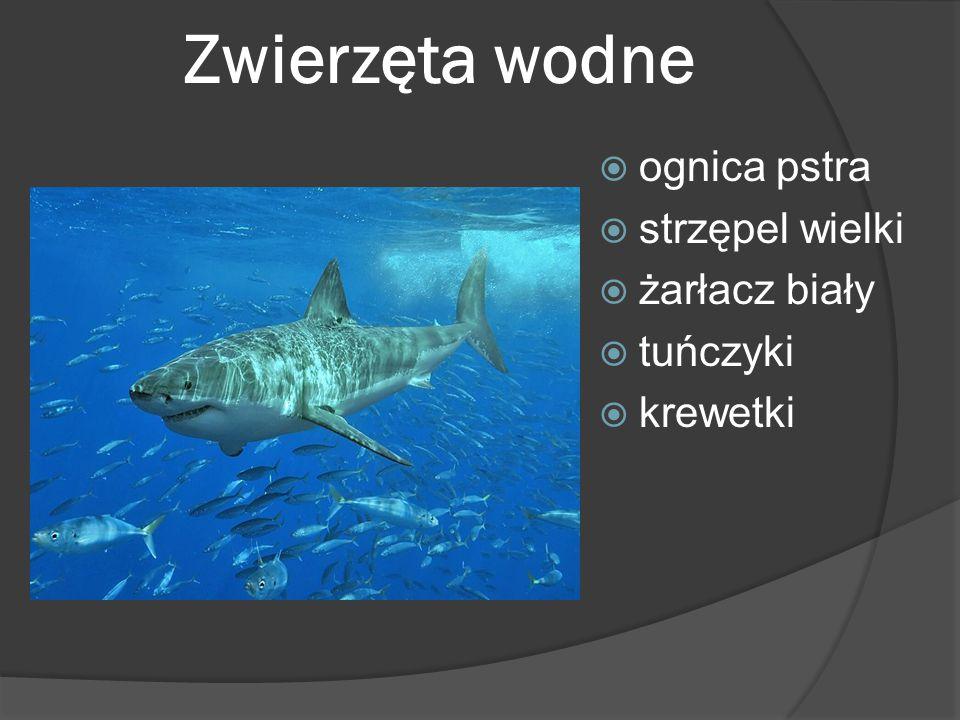 Zwierzęta wodne  ognica pstra  strzępel wielki  żarłacz biały  tuńczyki  krewetki