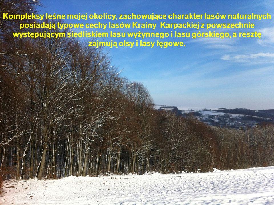 Kompleksy leśne mojej okolicy, zachowujące charakter lasów naturalnych posiadają typowe cechy lasów Krainy Karpackiej z powszechnie występującym siedl