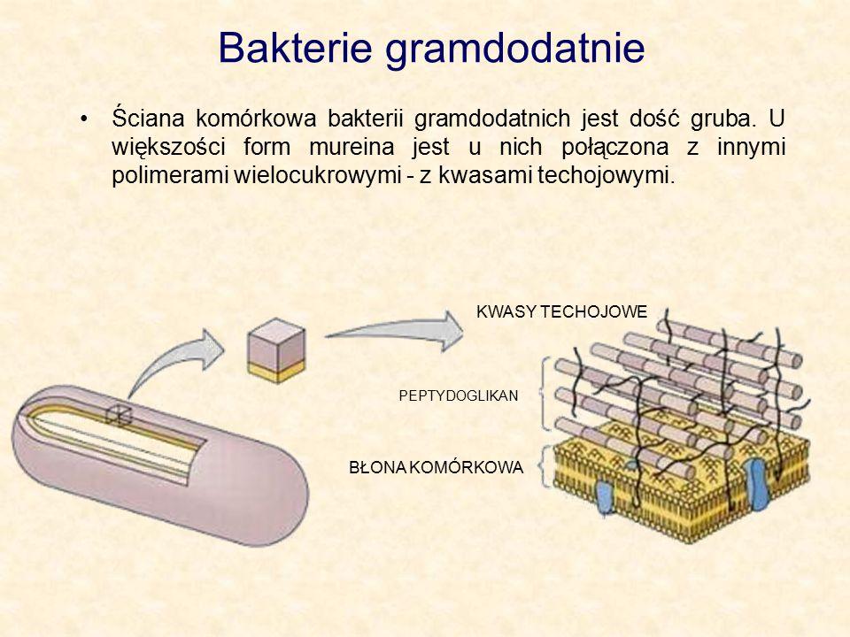 Bakterie gramdodatnie Ściana komórkowa bakterii gramdodatnich jest dość gruba. U większości form mureina jest u nich połączona z innymi polimerami wie