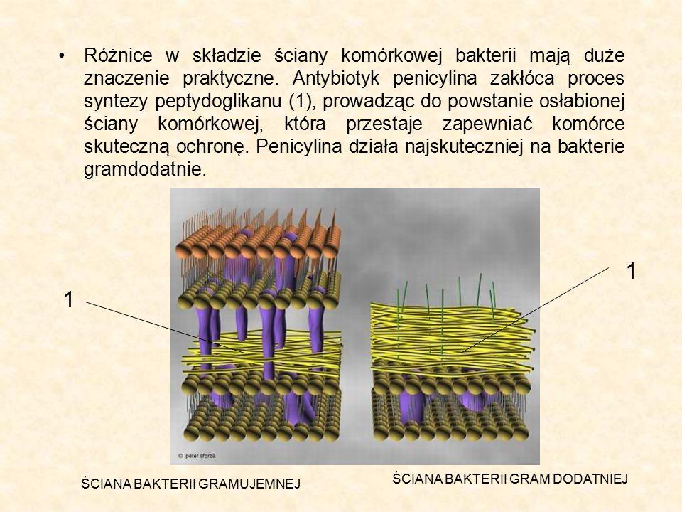Różnice w składzie ściany komórkowej bakterii mają duże znaczenie praktyczne. Antybiotyk penicylina zakłóca proces syntezy peptydoglikanu (1), prowadz
