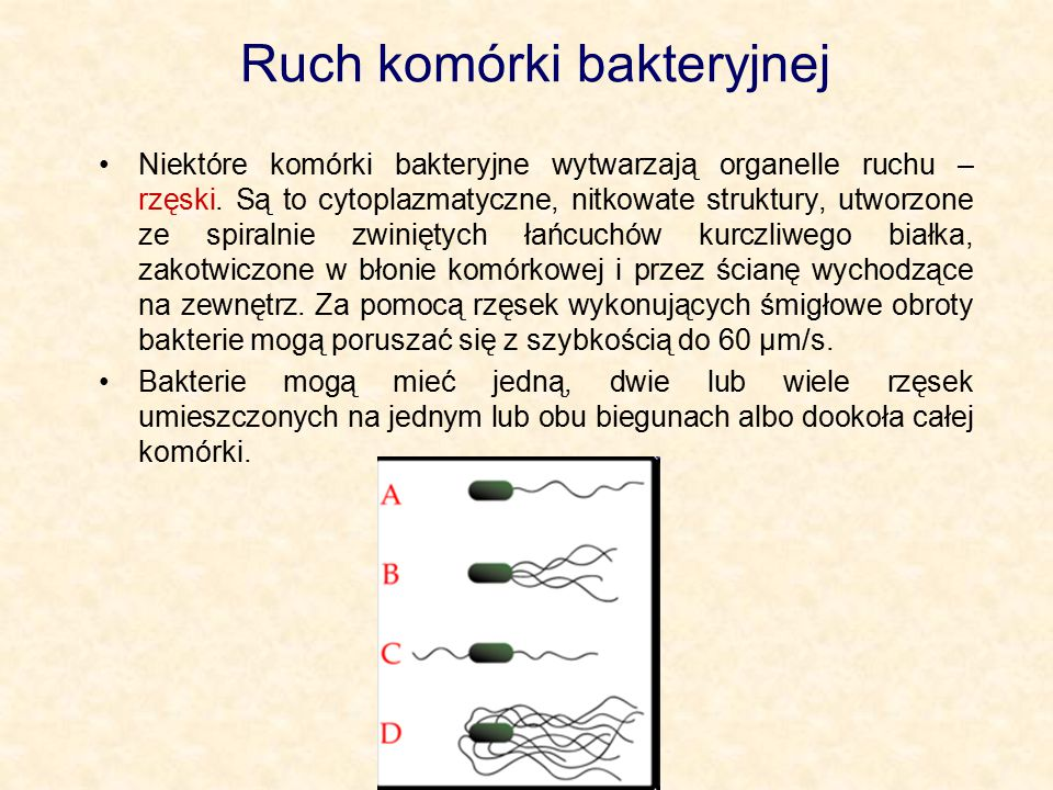 Ruch komórki bakteryjnej Niektóre komórki bakteryjne wytwarzają organelle ruchu – rzęski. Są to cytoplazmatyczne, nitkowate struktury, utworzone ze sp