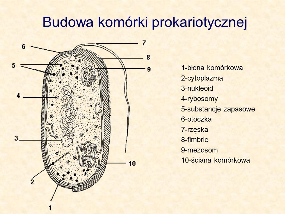 Budowa komórki prokariotycznej 1-błona komórkowa 2-cytoplazma 3-nukleoid 4-rybosomy 5-substancje zapasowe 6-otoczka 7-rzęska 8-fimbrie 9-mezosom 10-śc