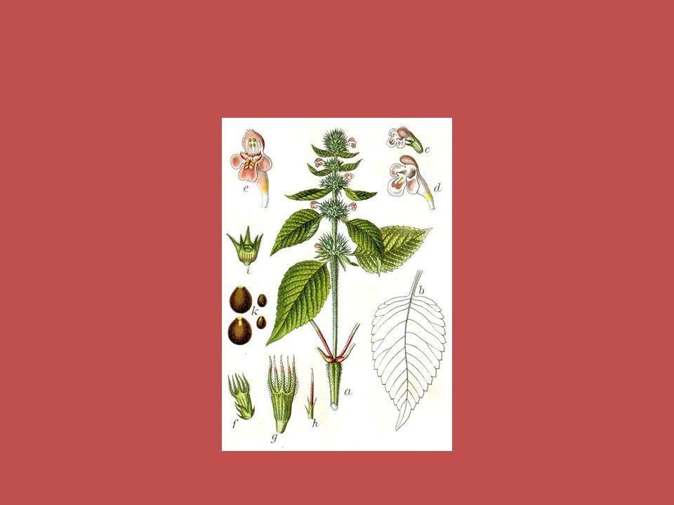 OGÓRECZNIK LEKARSKI UPRAWA : stanowisko - pełne słońce gleba - lekka i sucha, dobrze przepuszczalna rozmnażanie - siać w ziemi lub pojedynczo w doniczkach pielęgnacja - sadzić wśród róż, małe rośliny można uprawiać w pomieszczeniach zbiór- liście i kwiaty przechowywanie - suszenie, zamrażanie, kondyzowanie ZASTOSOWANIE : do dekoracji - kwiaty w kuchni - kwiaty i całe rośliny w kosmetyce - liście w medycynie - liście i nasiona