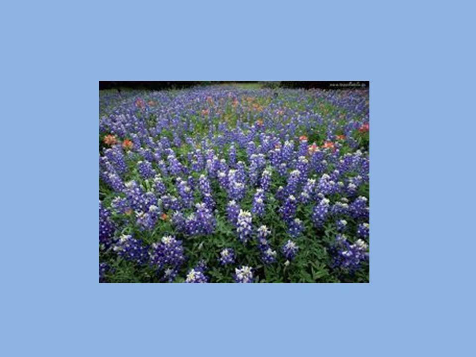 NAGIETEK LEKARSKI UPRAWA : stanowisko - nasłonecznione gleba - gleba ilasta rozmnażanie - siać nasiona wiosną w ziemi lub w doniczce pielęgnacja - sadzić co 30-45 cm,do uzyskania ciągłego kwitnięcia zbiór - otwarte koszyczki i młode liście przechowywanie - suszyć kwiaty w niskiej temp.,żeby zachowały kolor lub macerować w oleju ZASTOSOWANIE : do dekoracji - kwiaty w kuchni - kwiaty i liście w kosmetyce - kwiaty w medycynie - kwiaty