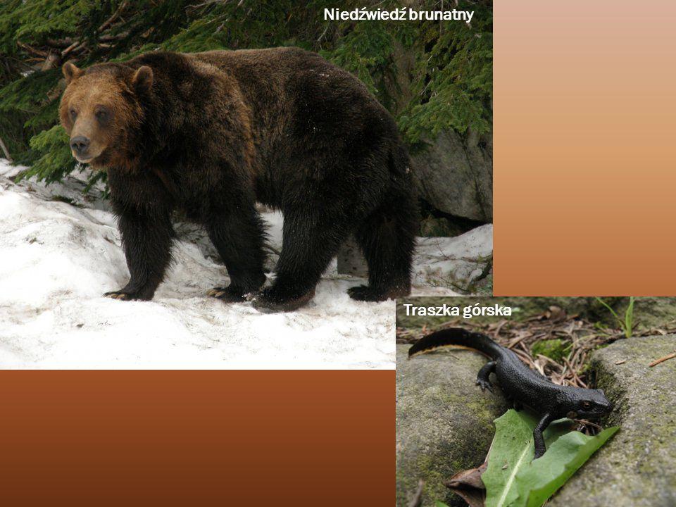 Niedźwiedź brunatny Traszka górska
