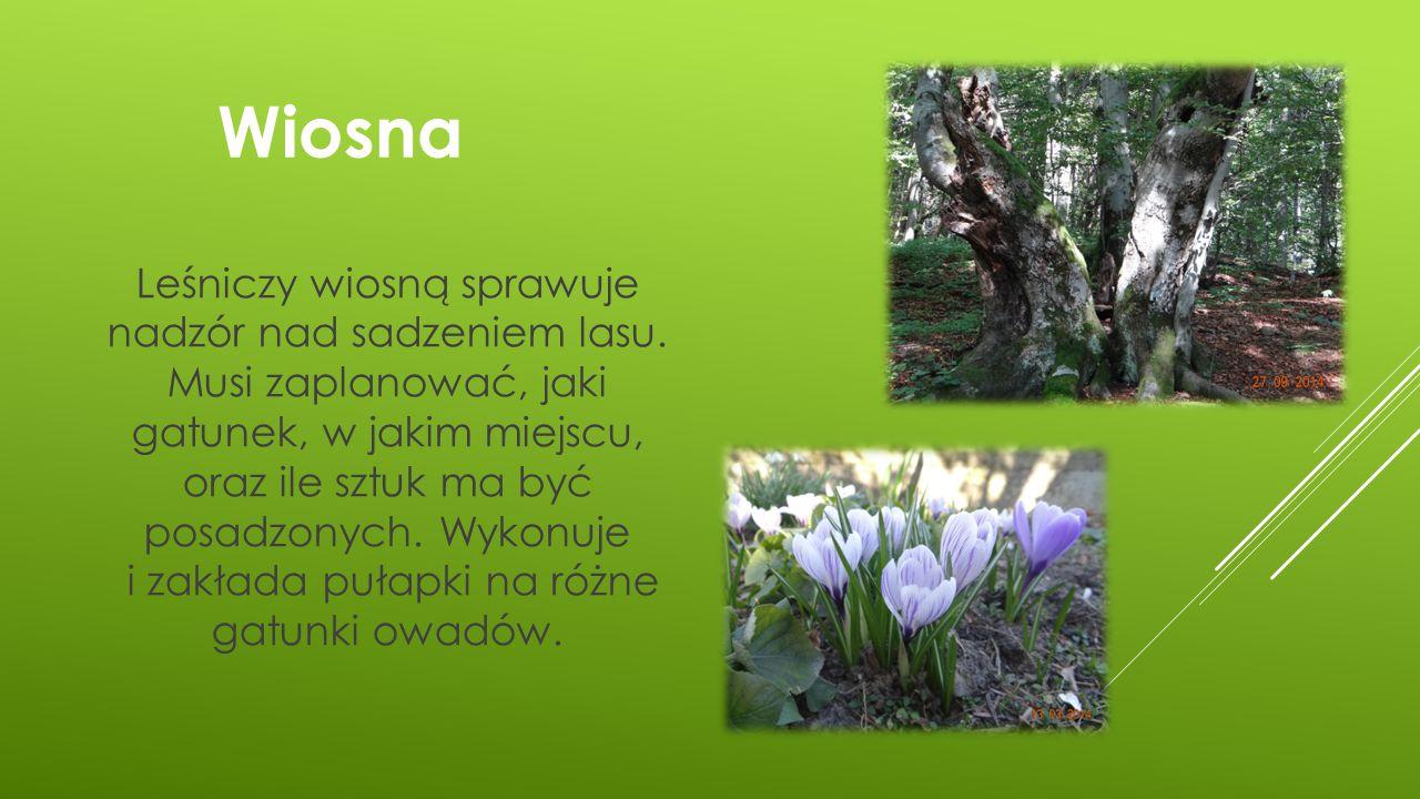 Wiosna Leśniczy wiosną sprawuje nadzór nad sadzeniem lasu. Musi zaplanować, jaki gatunek, w jakim miejscu, oraz ile sztuk ma być posadzonych. Wykonuje