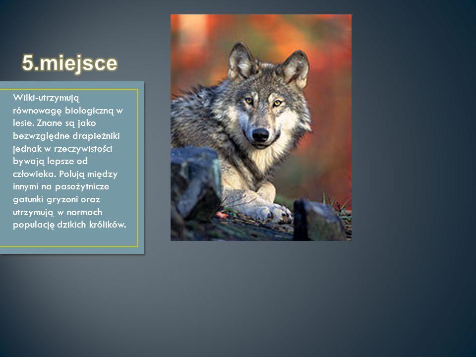 Wilki-utrzymują równowagę biologiczną w lesie. Znane są jako bezwzględne drapieżniki jednak w rzeczywistości bywają lepsze od człowieka. Polują między