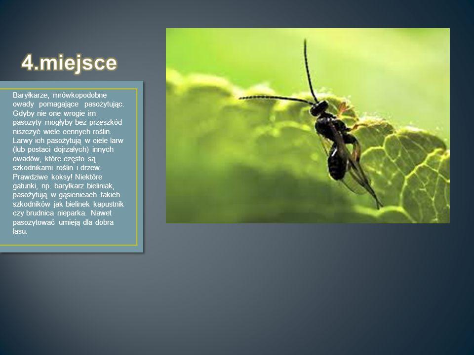Baryłkarze, mrówkopodobne owady pomagające pasożytując. Gdyby nie one wrogie im pasożyty mogłyby bez przeszkód niszczyć wiele cennych roślin. Larwy ic