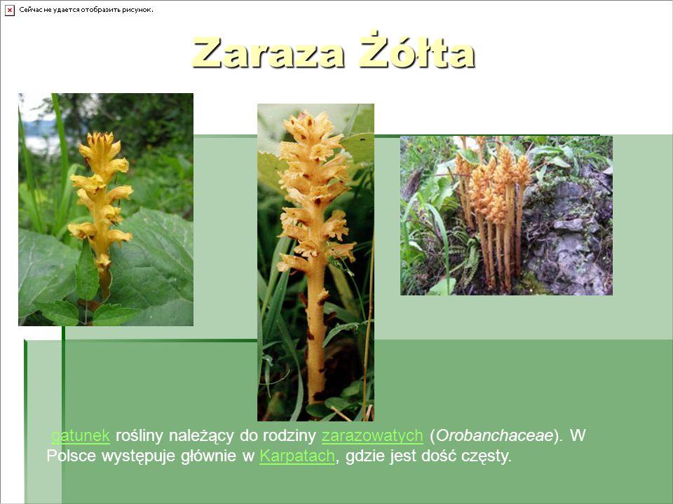 Zaraza Żółta Zaraza Żółta gatunek rośliny należący do rodziny zarazowatych (Orobanchaceae). W Polsce występuje głównie w Karpatach, gdzie jest dość cz