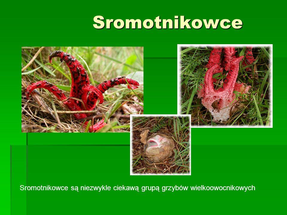 Sromotnikowce Sromotnikowce Sromotnikowce są niezwykle ciekawą grupą grzybów wielkoowocnikowych
