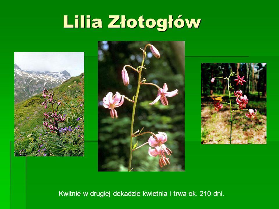 Lilia Złotogłów Lilia Złotogłów Kwitnie w drugiej dekadzie kwietnia i trwa ok. 210 dni.