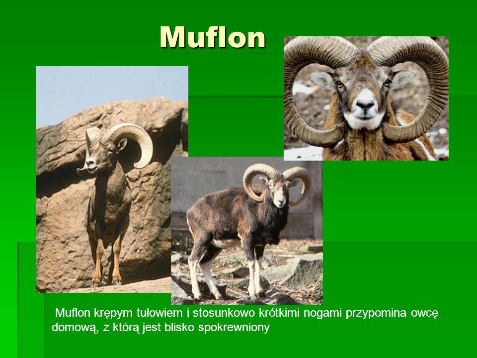 Muflon Muflon Muflon krępym tułowiem i stosunkowo krótkimi nogami przypomina owcę domową, z którą jest blisko spokrewniony
