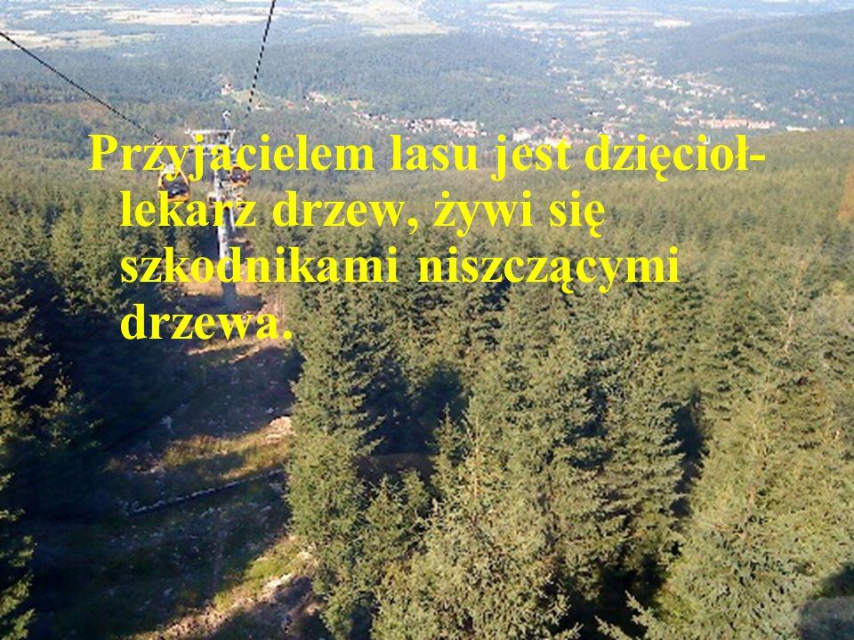 Przyjacielem lasu jest dzięcioł- lekarz drzew, żywi się szkodnikami niszczącymi drzewa.