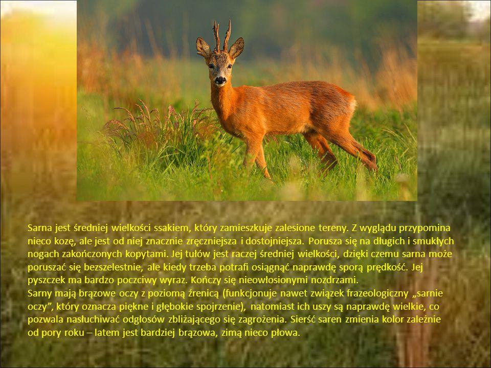 Sarna jest średniej wielkości ssakiem, który zamieszkuje zalesione tereny.