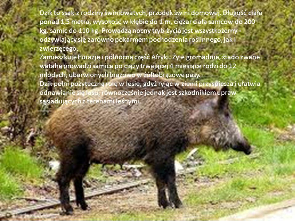 Dzik to ssak z rodziny świniowatych, przodek świni domowej.
