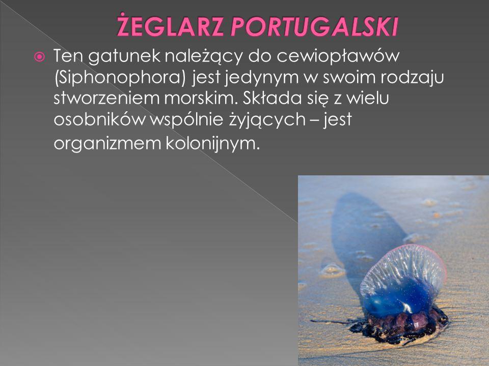  Ten gatunek należący do cewiopławów (Siphonophora) jest jedynym w swoim rodzaju stworzeniem morskim. Składa się z wielu osobników wspólnie żyjących