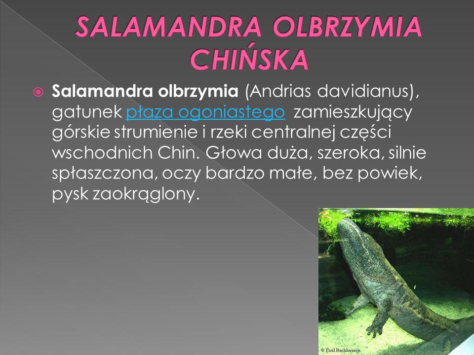  Salamandra olbrzymia (Andrias davidianus), gatunek płaza ogoniastego zamieszkujący górskie strumienie i rzeki centralnej części wschodnich Chin. Gło