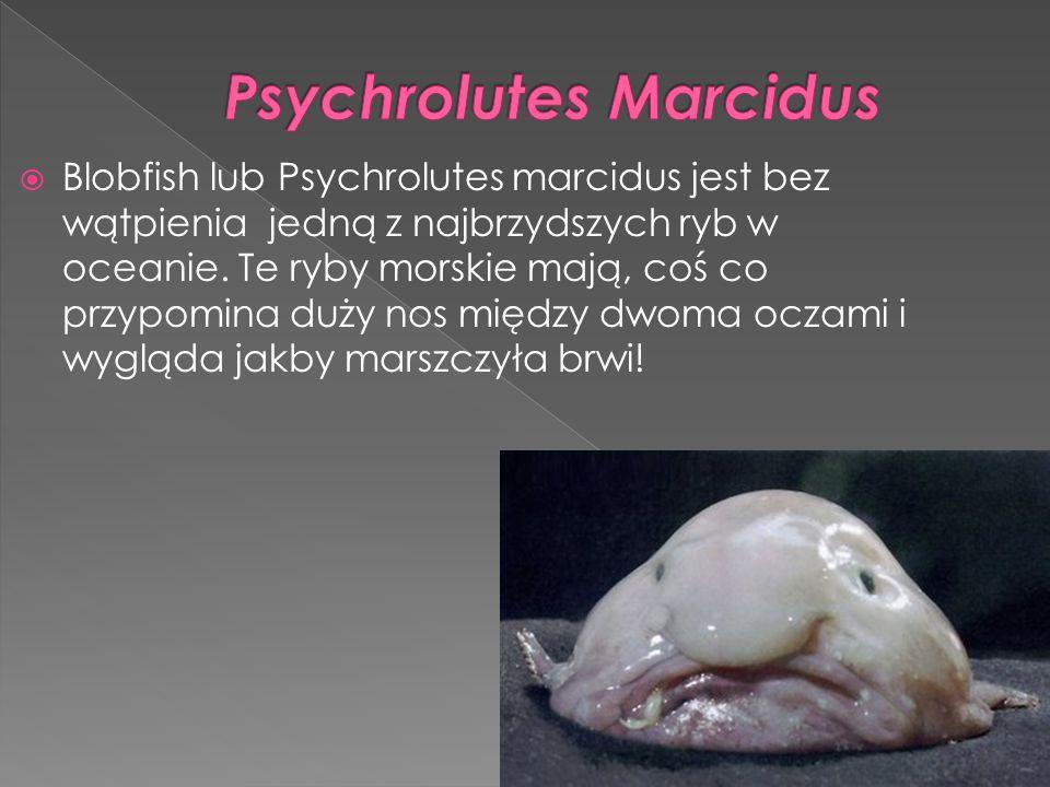  Blobfish lub Psychrolutes marcidus jest bez wątpienia jedną z najbrzydszych ryb w oceanie. Te ryby morskie mają, coś co przypomina duży nos między d