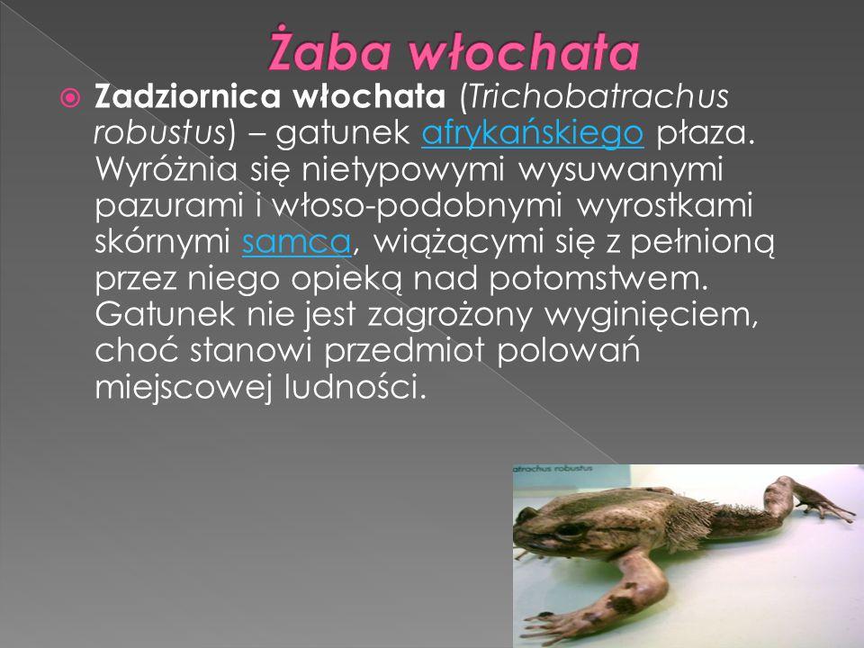  Zadziornica włochata (Trichobatrachus robustus) – gatunek afrykańskiego płaza. Wyróżnia się nietypowymi wysuwanymi pazurami i włoso-podobnymi wyrost