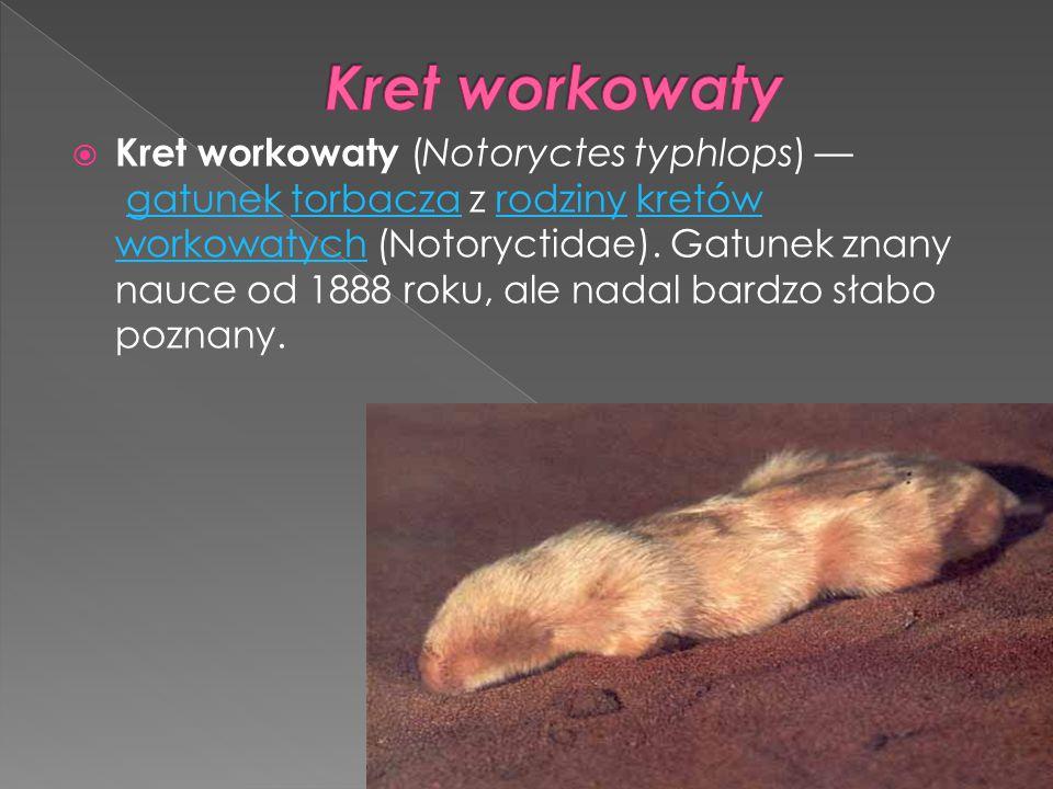  Kret workowaty (Notoryctes typhlops) — gatunek torbacza z rodziny kretów workowatych (Notoryctidae). Gatunek znany nauce od 1888 roku, ale nadal bar