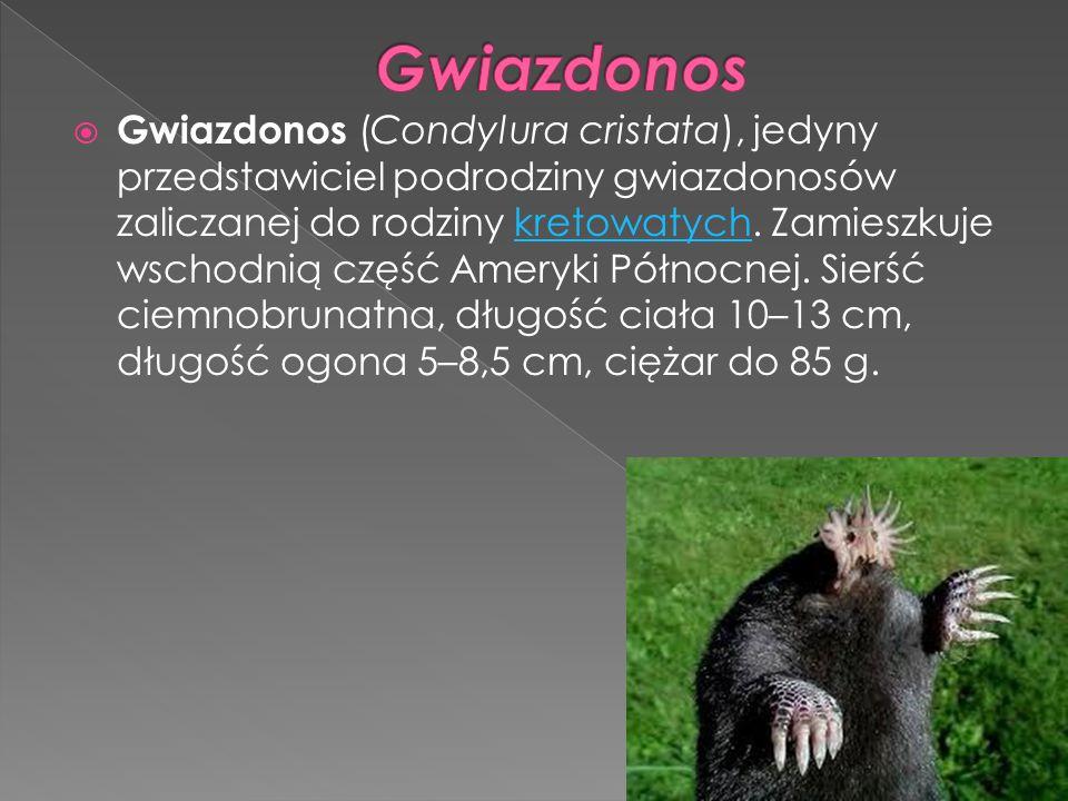  Gwiazdonos (Condylura cristata), jedyny przedstawiciel podrodziny gwiazdonosów zaliczanej do rodziny kretowatych. Zamieszkuje wschodnią część Ameryk