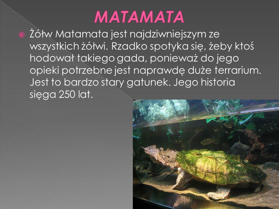  Żółw Matamata jest najdziwniejszym ze wszystkich żółwi. Rzadko spotyka się, żeby ktoś hodował takiego gada, ponieważ do jego opieki potrzebne jest n