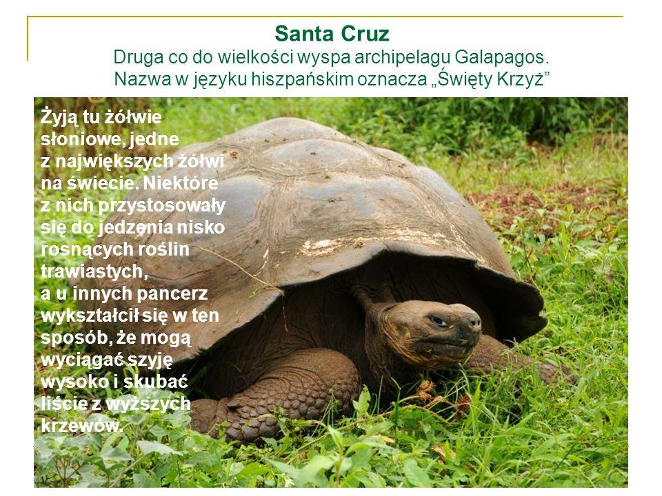 """Santa Cruz Druga co do wielkości wyspa archipelagu Galapagos. Nazwa w języku hiszpańskim oznacza """"Święty Krzyż"""" Żyją tu żółwie słoniowe, jedne z najwi"""