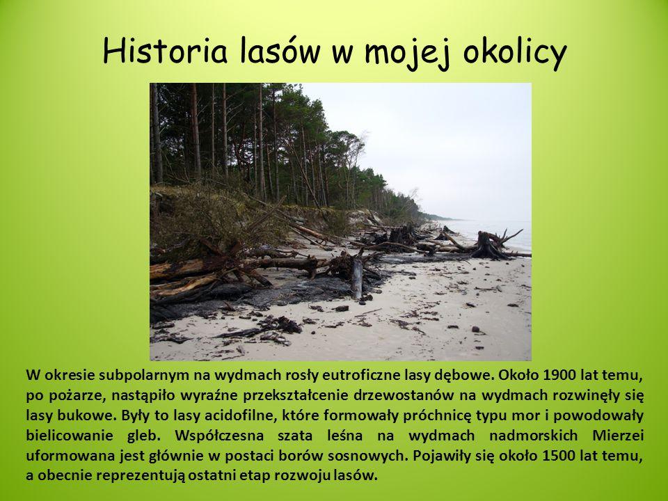 Historia lasów w mojej okolicy W okresie subpolarnym na wydmach rosły eutroficzne lasy dębowe. Około 1900 lat temu, po pożarze, nastąpiło wyraźne prze