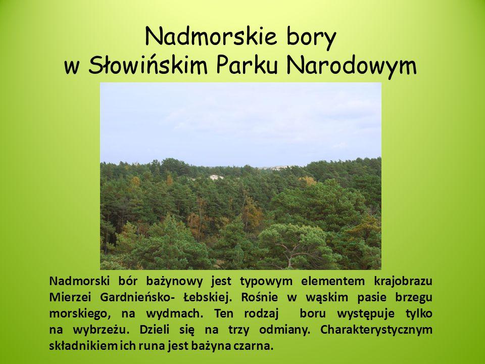 Nadmorskie bory w Słowińskim Parku Narodowym Nadmorski bór bażynowy jest typowym elementem krajobrazu Mierzei Gardnieńsko- Łebskiej. Rośnie w wąskim p