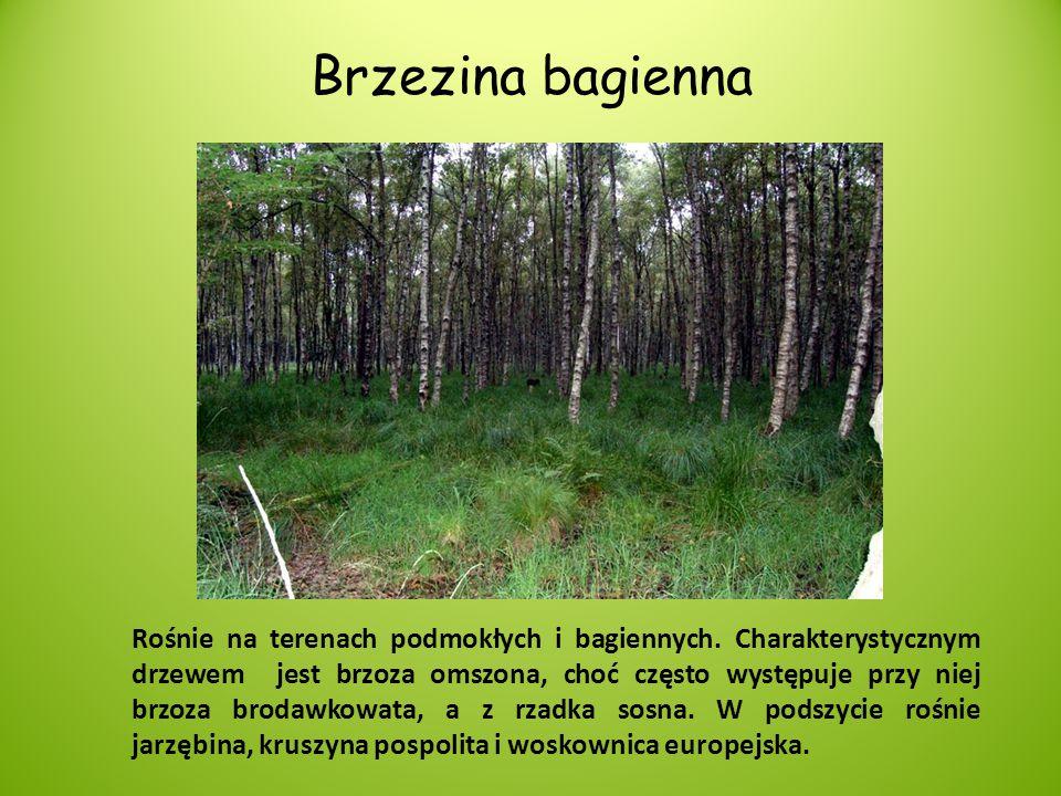 Brzezina bagienna Rośnie na terenach podmokłych i bagiennych. Charakterystycznym drzewem jest brzoza omszona, choć często występuje przy niej brzoza b