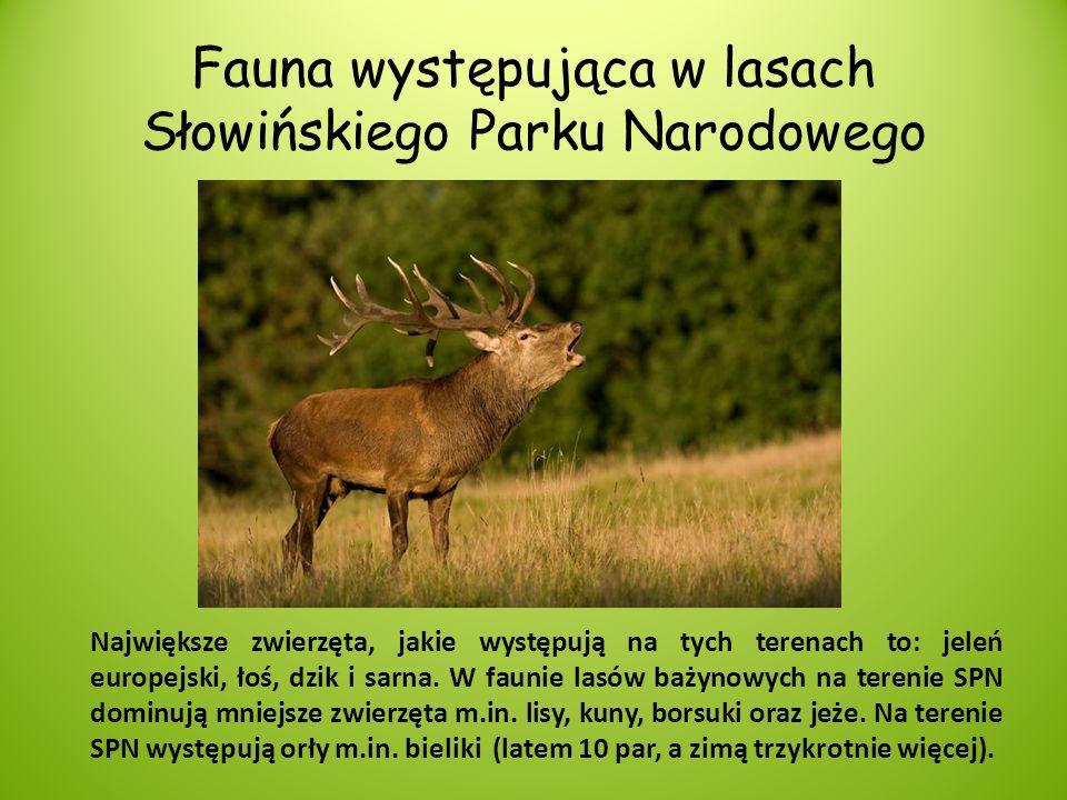 Fauna występująca w lasach Słowińskiego Parku Narodowego Największe zwierzęta, jakie występują na tych terenach to: jeleń europejski, łoś, dzik i sarn