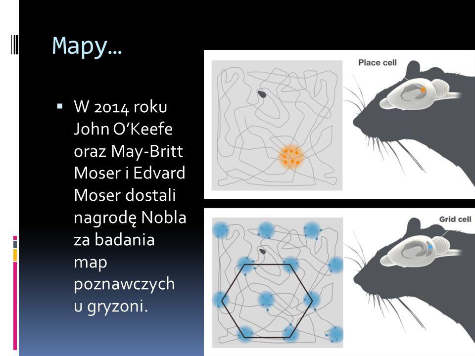 Mapy…  W 2014 roku John O'Keefe oraz May-Britt Moser i Edvard Moser dostali nagrodę Nobla za badania map poznawczych u gryzoni.