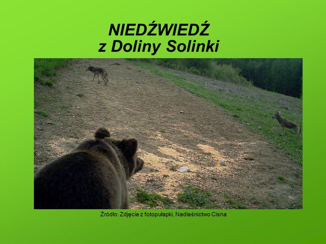 NIEDŹWIEDŹ z Doliny Solinki Źródło: Zdjęcie z fotopułapki, Nadleśnictwo Cisna