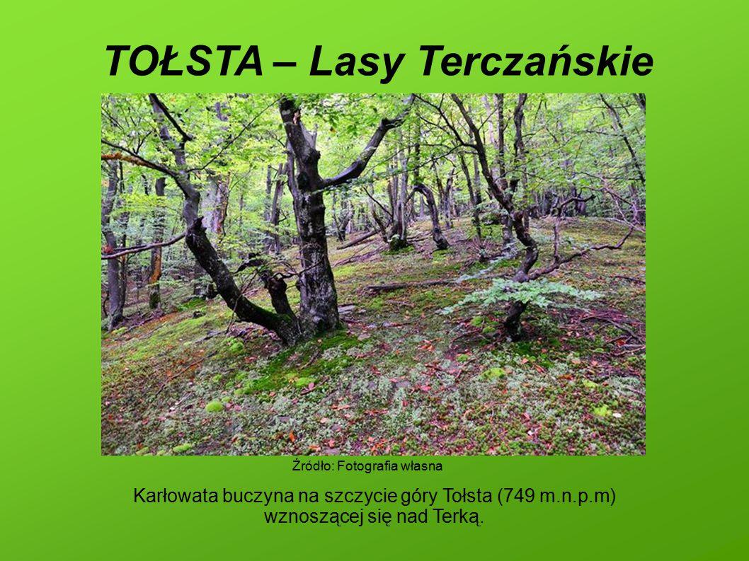 TOŁSTA – Lasy Terczańskie Karłowata buczyna na szczycie góry Tołsta (749 m.n.p.m) wznoszącej się nad Terką. Źródło: Fotografia własna