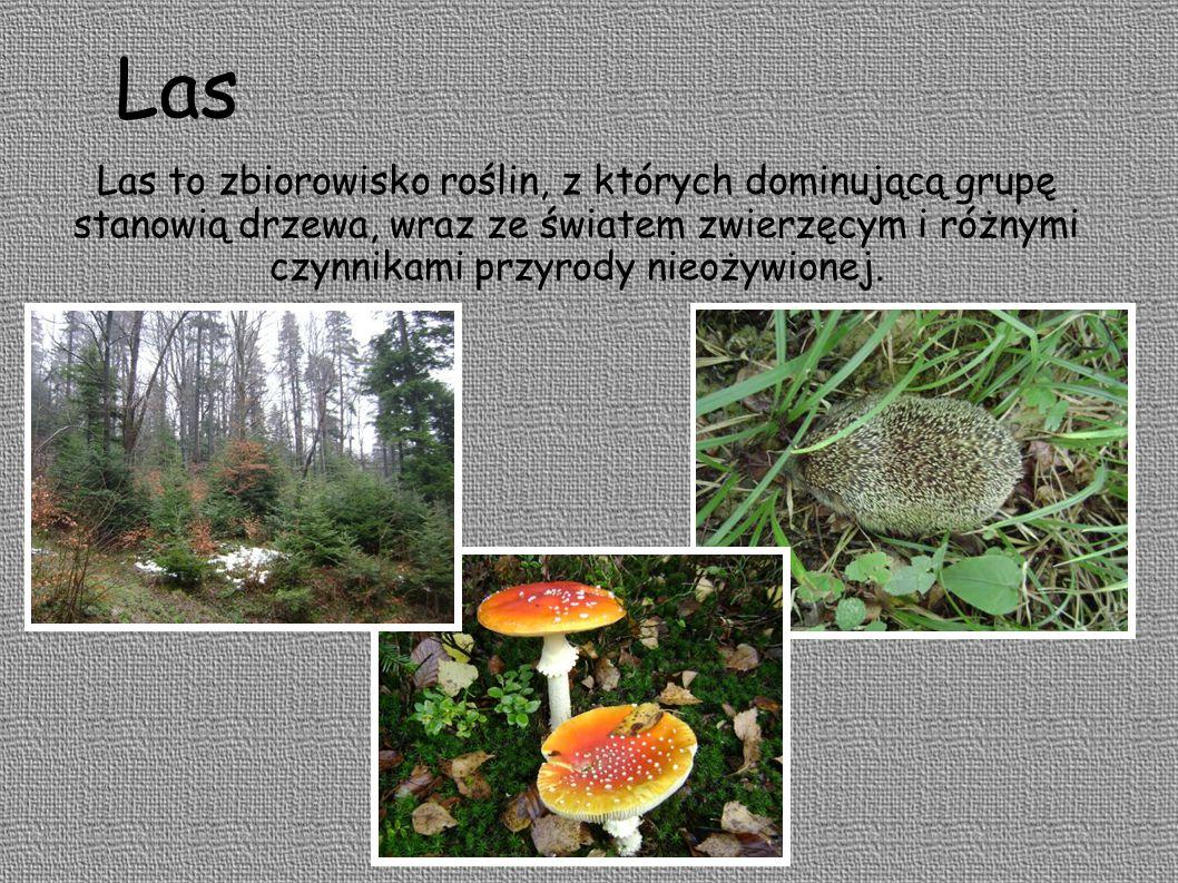 Charakterystyczną cechą lasu jest warstwowa budowa Runo leśne – mchy paprocie grzyby rośliny zielone Podszyt – młode drzewa krzewy Wysokie - liściaste drzewa iglaste