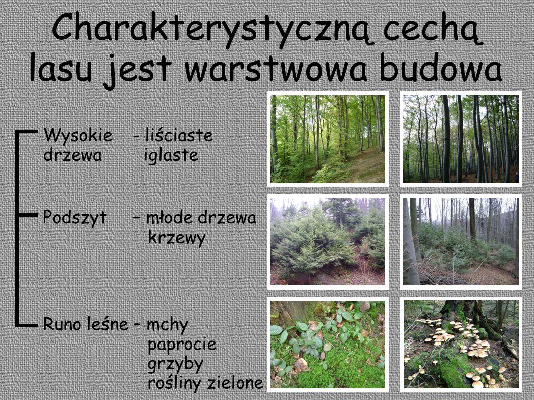 Charakterystyczną cechą lasu jest warstwowa budowa Runo leśne – mchy paprocie grzyby rośliny zielone Podszyt – młode drzewa krzewy Wysokie - liściaste