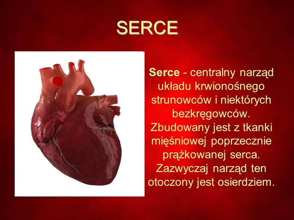 SERCE Serce - centralny narząd układu krwionośnego strunowców i niektórych bezkręgowców.