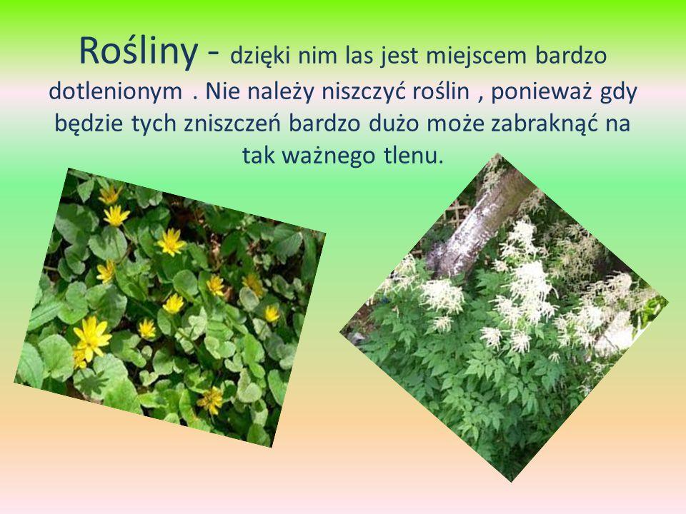 Rośliny - dzięki nim las jest miejscem bardzo dotlenionym.