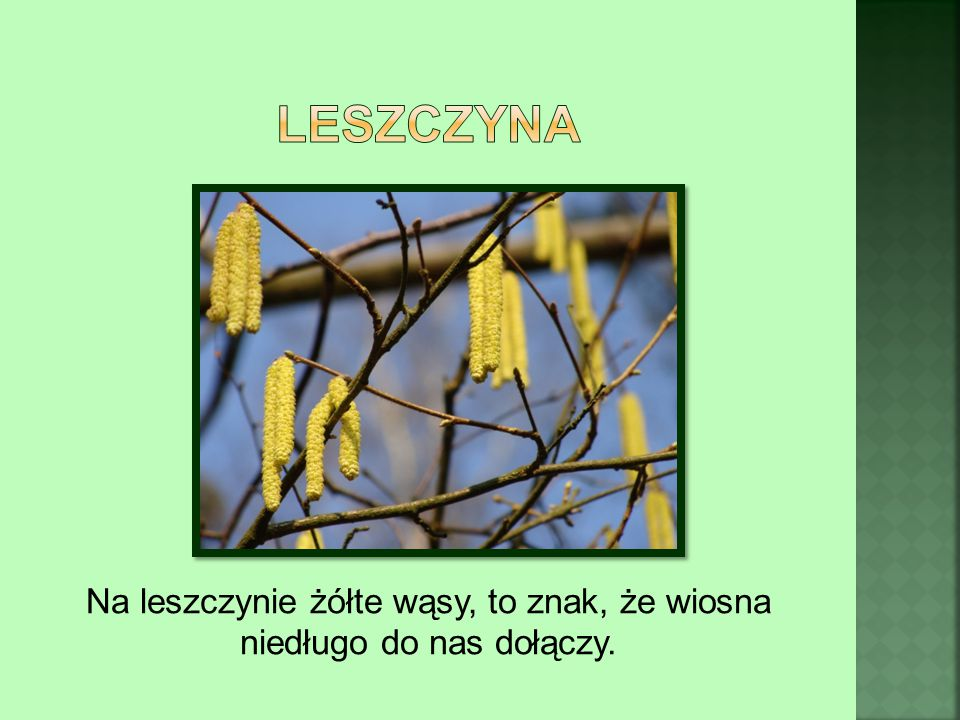 Na leszczynie żółte wąsy, to znak, że wiosna niedługo do nas dołączy.